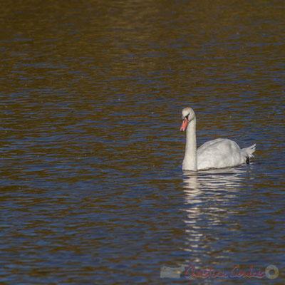 Cygne blanc dans un réservoir du Domaine de Graveyron, Audenge, espace naturel sensible de Gironde