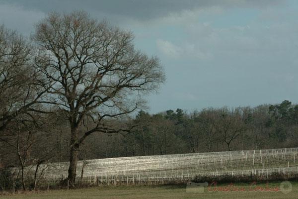 Fils d'argent, fil d'inox. Vignoble, Carignan-de-Bordeaux