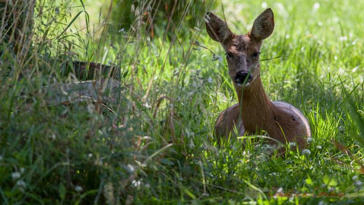 Le chevreuil possède de grandes oreilles qui lui permettent de saisir les sons à une grande distance.