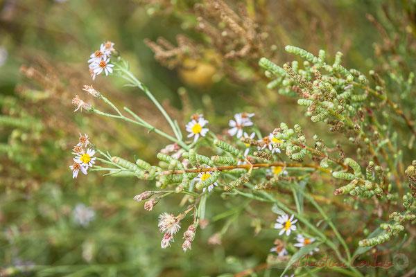 Salicorne et fleur de ? Réserve naturelle régionale de Scamandre, Vauvert
