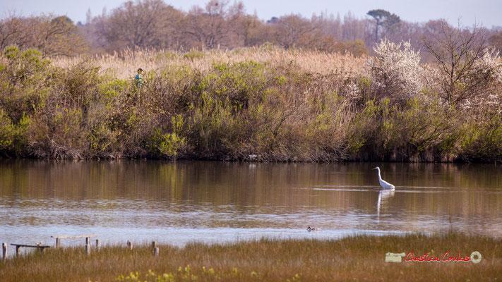 Héron gardebœuf juvénile, réserve ornithologique du Teich. Samedi 16 mars 2019