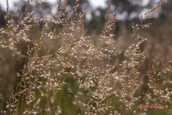 1/2 Graminées. Forêt de Migelan, espace naturel sensible, Martillac / Saucats / la Brède. Vendredi 22 mai 2020. Photographie : Christian Coulais