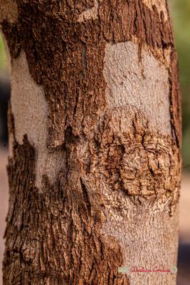Gommier jaune ou eucalyptus à miel, Australie. Genre : Eucalyptus; Espèce : Melliodora; Famille : Myrtaceae. Ordre : Myrtales. Serre tropicale du Bourgailh, Pessac. 27 mai 2019