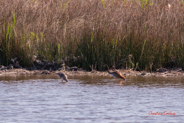Couple de barges à queue noire. Réserve ornithologique du Teich. Samedi 3 avril 2021. Photographie © Christian Coulais
