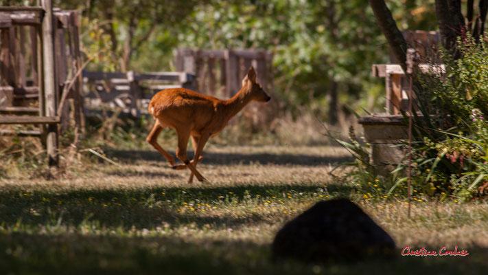 La chevrette s'enfuit vers les vignes. Cénac, samedi 18 juillet 2020. Photographie © Christian Coulais