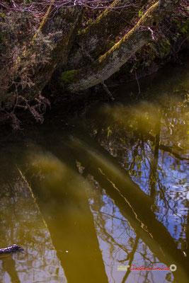 RefletsCanard souchet et sa femelle, réserve ornithologique du Teich. Samedi 16 mars 2019