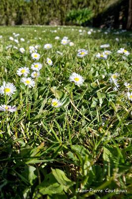 Paquerettes dans pelouse Mercredi 25 mars 2020. Photographie : Jean-Pierre Couthouis