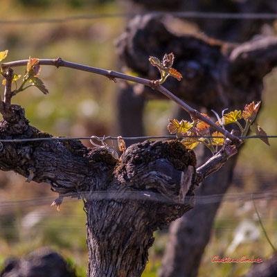 Cep de vigne, Château du Garde, Cénac. Samedi 4 avril 2020. Photographie : Christian Coulais