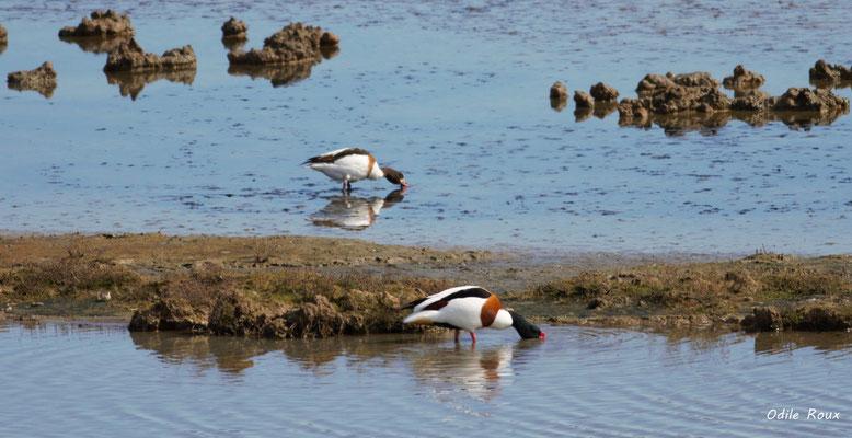 Tadorne de Belon. Réserve ornithologique du Teich. Photographie Odile Roux. Samedi 16 mars 2019