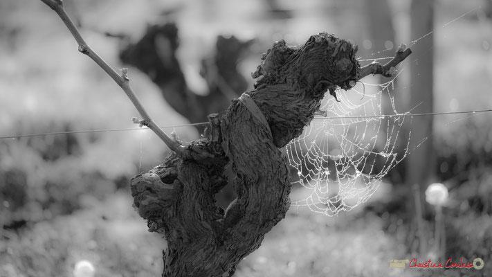 """""""Au petit matin"""". Vitis vinifera Land Art"""