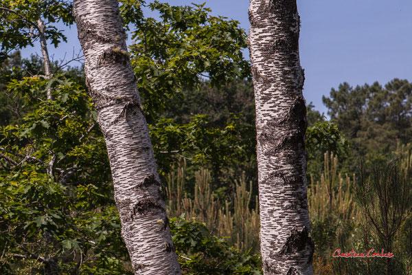 3/3 Tronc et écorce de bouleau verruqueux ou bouleau blanc (Betula pendula, syn. B. verrucosa). Forêt de Migelan, espace naturel sensible, Martillac / Saucats / la Brède. Vendredi 22 mai 2020. Photographie : Christian Coulais