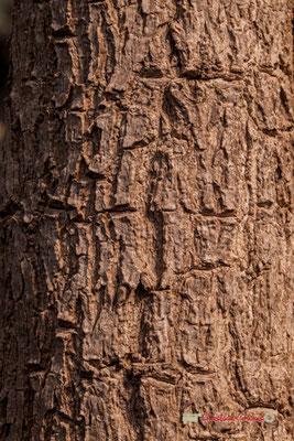 Tulipier du Gabon. Genre : Spathodea; Espèce : Campanulata; Famille : Bignoniaceae; Ordre : Scrophulariales. Serre tropicale du Bourgailh, Pessac. 27 mai 2019
