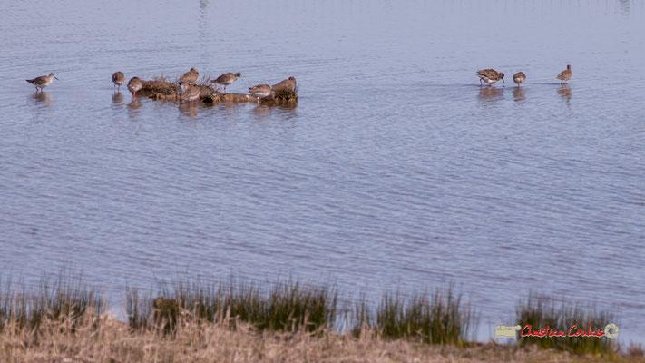 Colonnie de bécasseaux. Réserve ornithologique du Teich. Samedi 16 mars 2019. Photographie © Christian Coulais