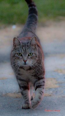 1/3 Chat domestique (Felis silvestris catus) Cénac. Mardi 7 avril 2020. Photographie : Christian Coulais