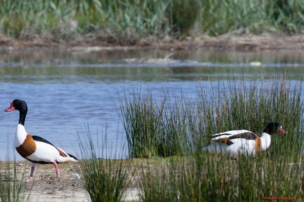 Tadornes de Belon. Réserve ornithologique du Teich. Photographie Jean-Pierre Couthouis. Samedi 3 avril 2021