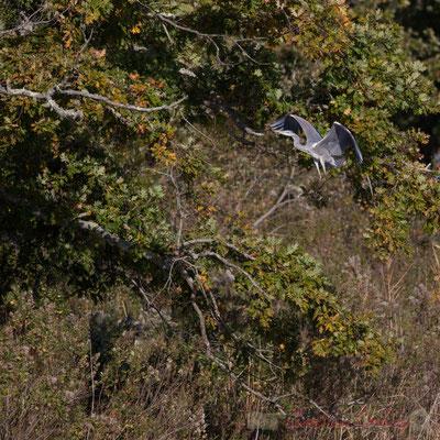 Pose d'un héron cendré dans un chêne. Domaine de Graveyron, Audenge, espace naturel sensible de Gironde