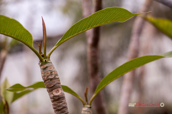Frangipanier blanc, Antilles. Genre : Plumeria; Espèce : Alba; Famille : Apocynaceae; Ordre : Gentianales. Serre tropicale du Bourgailh, Pessac. 27 mai 2019