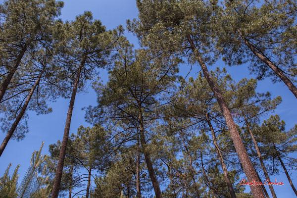 1/4 Parcelle de pins maritimes (pin des Landes, pin de Bordeaux, Pinus pinaster). Forêt de Migelan, espace naturel sensible, Martillac / Saucats / la Brède. Vendredi 22 mai 2020. Photographie : Christian Coulais