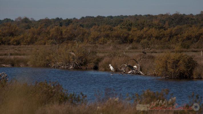 Grande aigrette dans réservoir du Domaine de Graveyron, Audenge, espace naturel sensible de Gironde