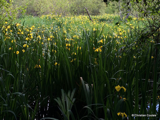 Iris sauvages, bayou de la Pimpine, face à l'étang des Sources. Latresne, Gironde