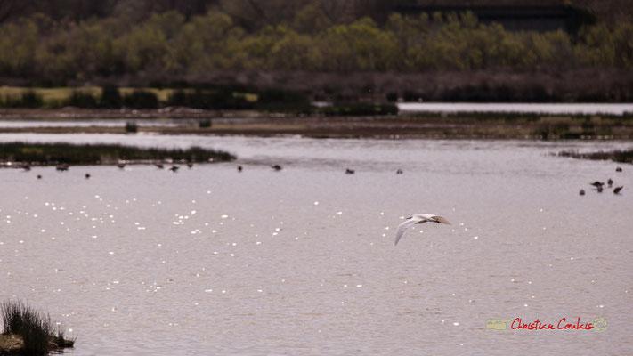Vol d'aigrette IV. Réserve ornithologique du Teich. Samedi 16 mars 2019. Photographie © Christian Coulais