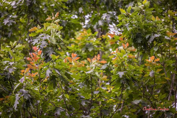 Pousses printannières de chêne américain. Forêt de Migelan, espace naturel sensible, Martillac / Saucats / la Brède. Samedi 23 mai 2020. Photographie : Christian Coulais
