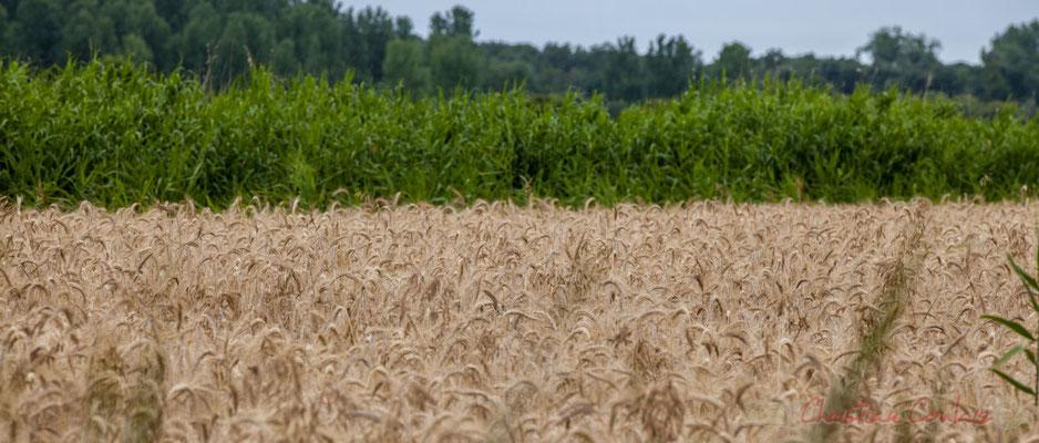 Roselière et champs de céréales, entre marais doux et marais salés, circuit N°27, Pays de Saint-Gilles-Croix-de-Vie, Vendée, Pays de la Loire