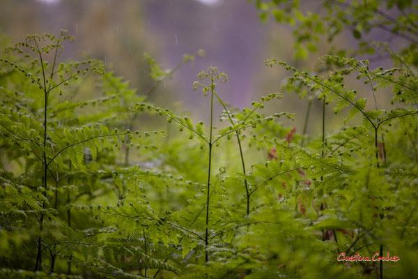 3/3 Fougères. Forêt de Migelan, espace naturel sensible, Martillac / Saucats / la Brède. Samedi 23 mai 2020. Photographie : Christian Coulais