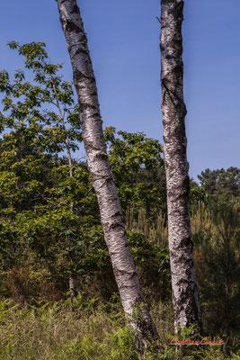 2/3 Tronc et écorce de bouleau verruqueux ou bouleau blanc (Betula pendula, syn. B. verrucosa). Forêt de Migelan, espace naturel sensible, Martillac / Saucats / la Brède. Vendredi 22 mai 2020. Photographie : Christian Coulais