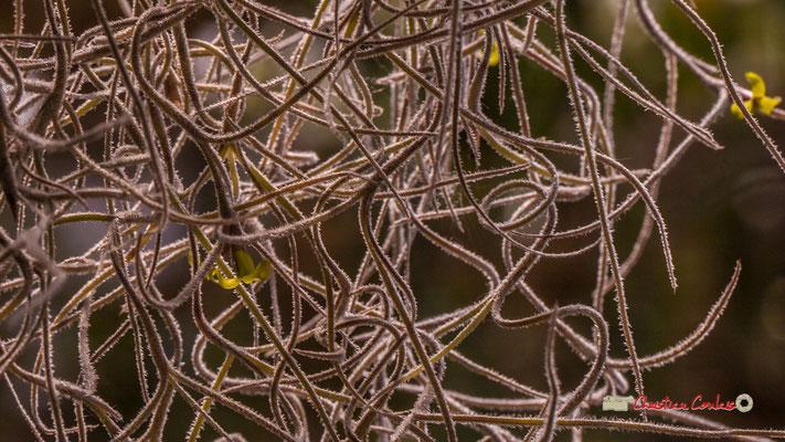 Mousse espagnole Genre : Tillandsia; Espèce : Usneoides; Famille : Bromeliaceae; Ordre : Bromeliales. Serre tropicale du Bourgailh, Pessac. 27 mai 2019