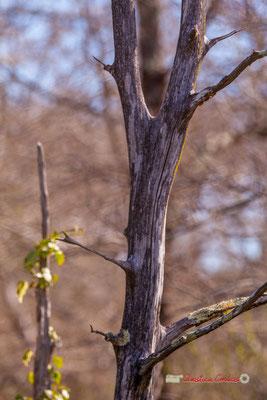Tronc VII. Réserve ornithologique du Teich. Samedi 16 mars 2019. Photographie © Christian Coulais