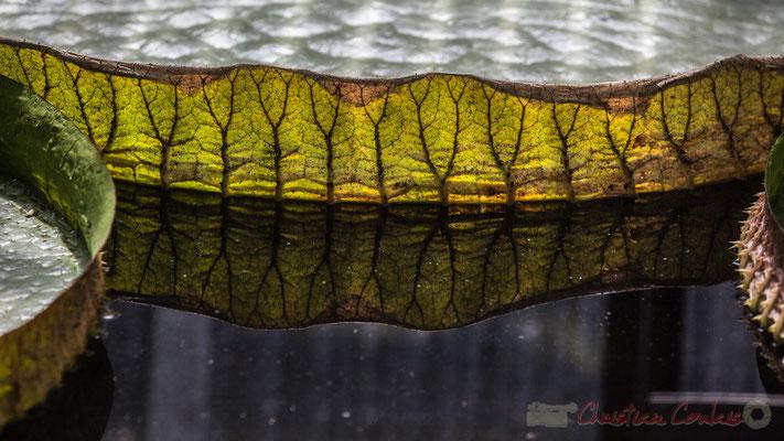 La serre des « Victoria d'Amazonie » ou nénuphars géants; jardiniers du Domaine de Chaumont-sur-Loire, Loir-et-Cher; France. Mercredi 26 août 2015. Photographie © Christian Coulais