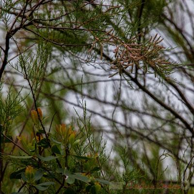 Arbousier et tamaris. De Lège-Cap Ferret à Arès, par le sentier de la Réserve naturelle des Prés salés, Gironde