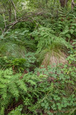 Osmonde royale et Carex. Lagune de Contaut, Hourtin