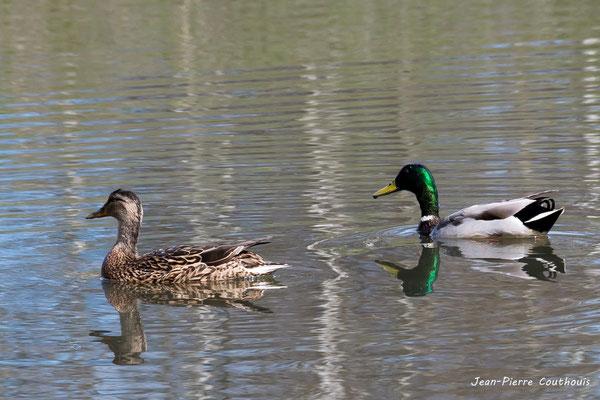 Canard colvert. Réserve ornithologique du Teich. Photographie Jean-Pierre Couthouis. Samedi 16 mars 2019