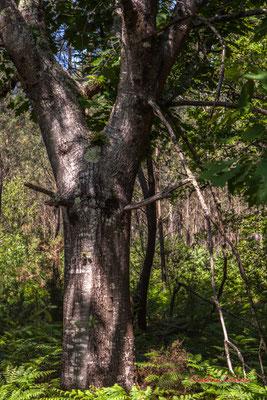 3/3 Tronc et écorce de chêne rouge d'Amérique (Quercus rubra). Forêt de Migelan, espace naturel sensible, Martillac / Saucats / la Brède. Vendredi 22 mai 2020. Photographie : Christian Coulais