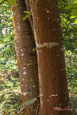 2/3 Tronc et écorce de chêne rouge d'Amérique (Quercus rubra). Forêt de Migelan, espace naturel sensible, Martillac / Saucats / la Brède. Vendredi 22 mai 2020. Photographie : Christian Coulais