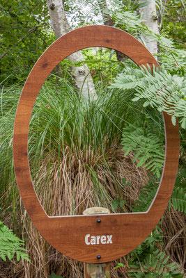 Le carex est juché sur un touradon, dôme végétal composé de racines et tiges sèches des années précédentes (1 à3 mm par an)...