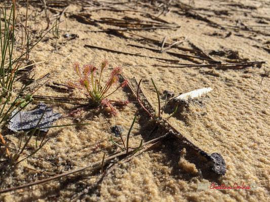Lieu de vie de la Rossolis intermédiaire (Drosera intermedia), lac de sanguniet, Zone NATURA 2000. 28/09/2019
