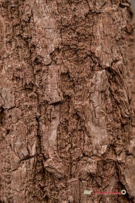 Afrique du Sud. Genre : Cussonia; Espèce : Paniculata; Famille : Araliaceae; Ordre : Apiales. Serre tropicale du Bourgailh, Pessac. 27 mai 2019