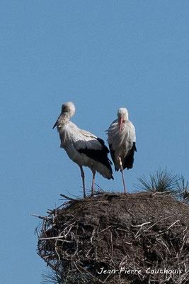 Ni de cigogne blanche. Réserve ornithologique du Teich. Photographie Jean-Pierre Couthouis. Samedi 16 mars 2019