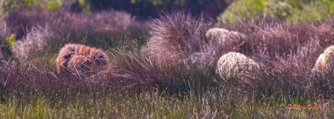 Brebis landaises, réserve ornithologique du Teich. Samedi 3 avril 2021. Photographie © Christian Coulais
