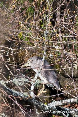 Bihoreau Gris. Réserve ornithologique du Teich. Photographie Jean-Pierre Couthouis. Samedi 16 mars 2019