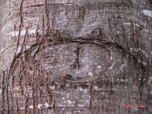 """""""Bel œil"""" Ecorce de chêne rouge d'Amérique (Quercus rubra). Forêt de Migelan, espace naturel sensible, Martillac / Saucats / la Brède. Samedi 23 mai 2020. Photographie : Christian Coulais"""