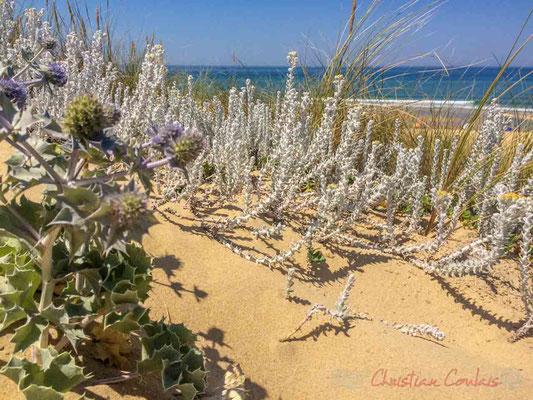 Diotis maritime, Diotis blanc (Otanthus maritimus subsp. maritimus)