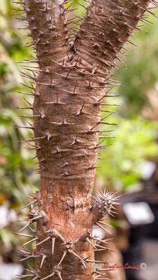 Madagascar. Genre : Pachypodium; Espèce : Lamerei; Famille : Apocynaceae; Ordre : Gentianales. Serre tropicale du Bourgailh, Pessac. 27 mai 2019