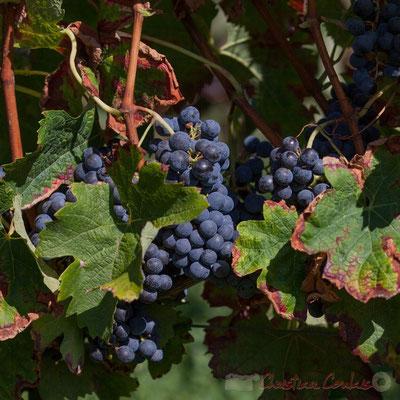 Viticulture, Croignon