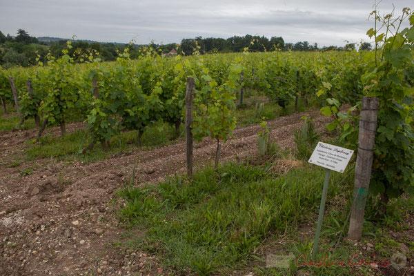 Parcelle de Cabernet Franc. Vignoble du Château Duplessy, Cénac. Randonnée pédestre Jazz360 2016, de Cénac à Quinsac