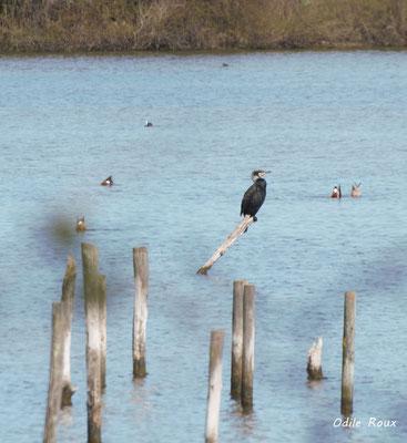 Grand cormoran. Réserve ornithologique du Teich. Photographie Odile Roux. Samedi 16 mars 2019