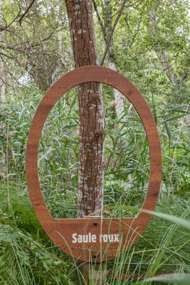 Saule roux. Hourtin, Lagune de Contaut, Espace Naturel Sensible de Gironde